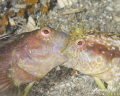   Blenny fight. Image part sequence tells story males had bloody argument about who father eggs was... fight was  